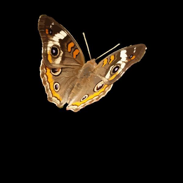 Buckeye butterfly vector image