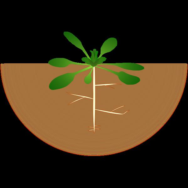 Vector image of arabidopsis thaliana