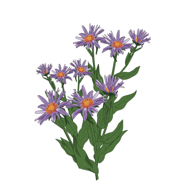 Aster of Pyrenees illustration
