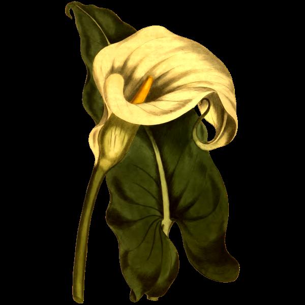 Ethiopian Arum