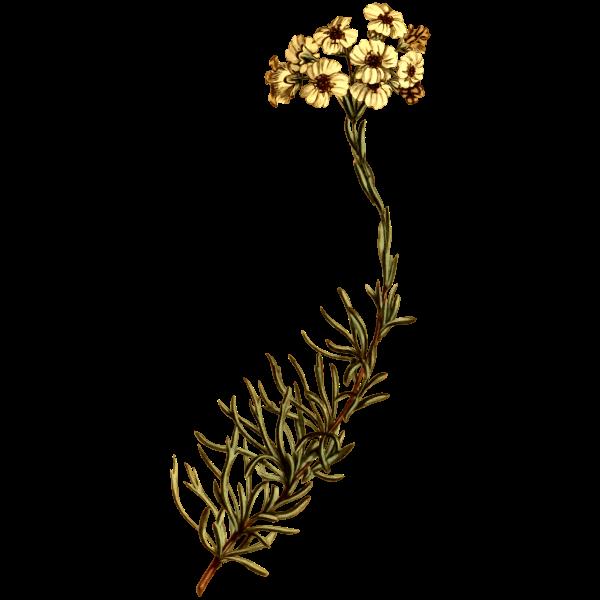 Cluster-leaved eriocephalus
