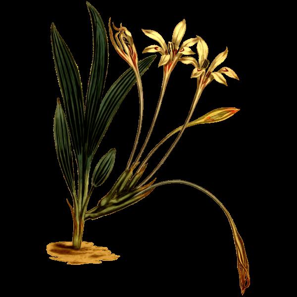 Long-tubed babiana