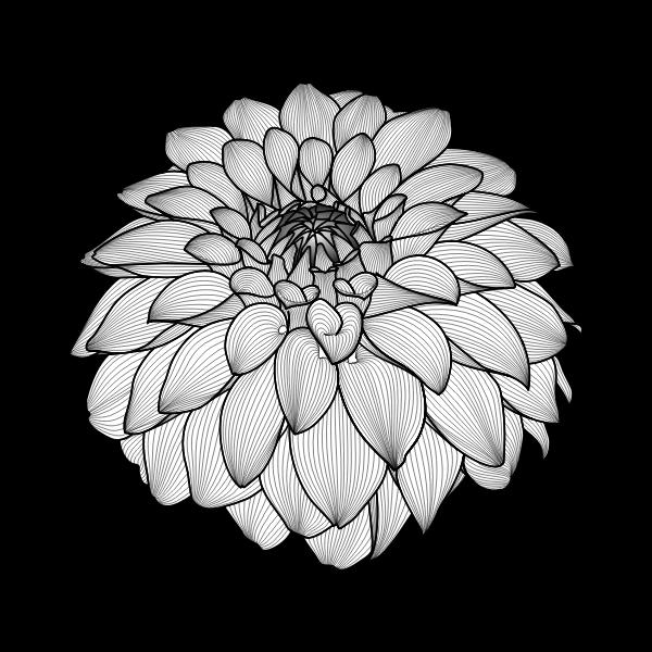 Dahlia black'n white