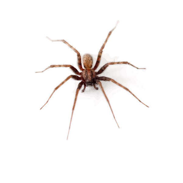 big skinny-legged spider