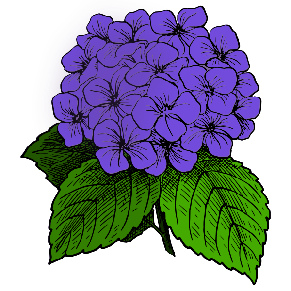 Hydrangea - Purple
