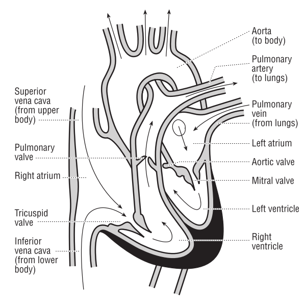 Vector illustration of the heart and course of blood flow through the heart chambers.