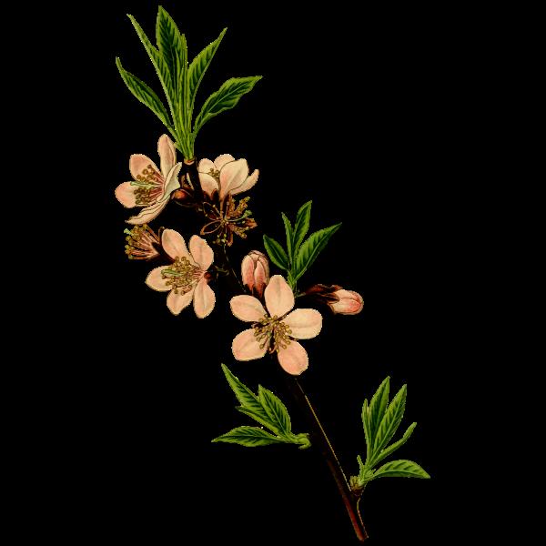 Almond tree vector image
