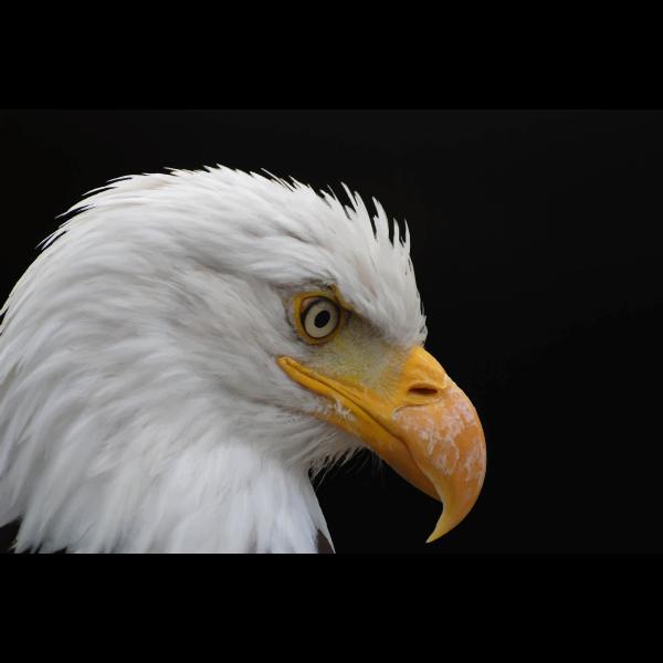 Alopecic Eagle