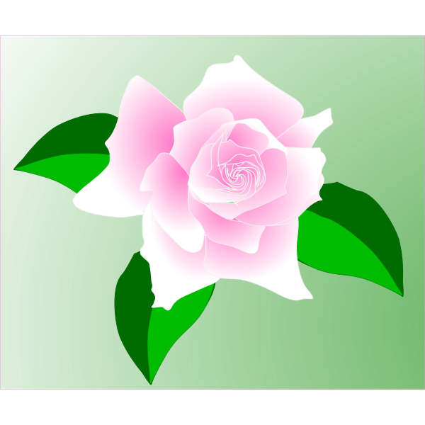 Anonymous pink rose