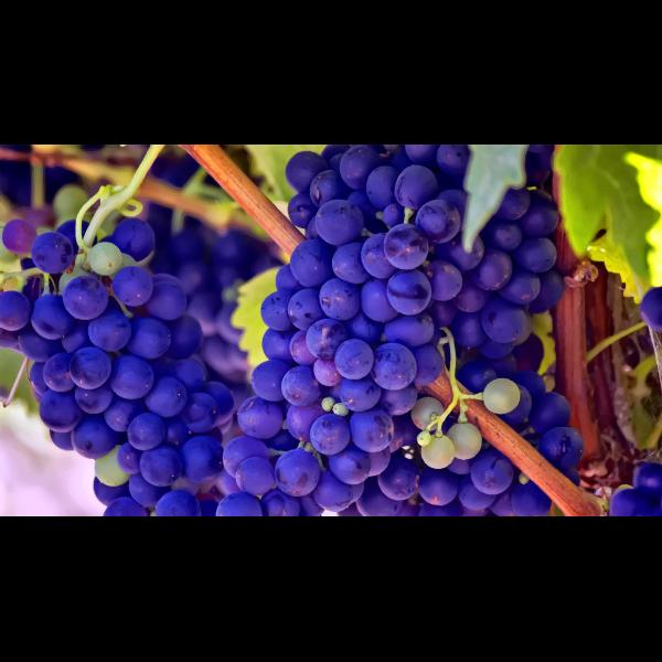 Bright blue grapes