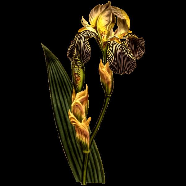 Brown Flowers Iris