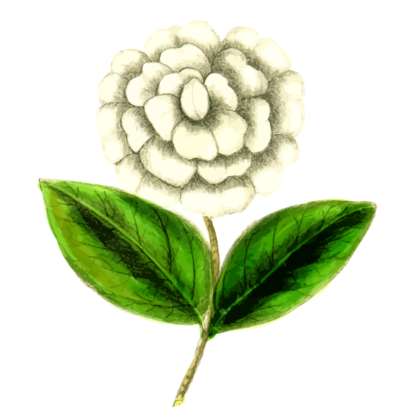 Camellia flower plant