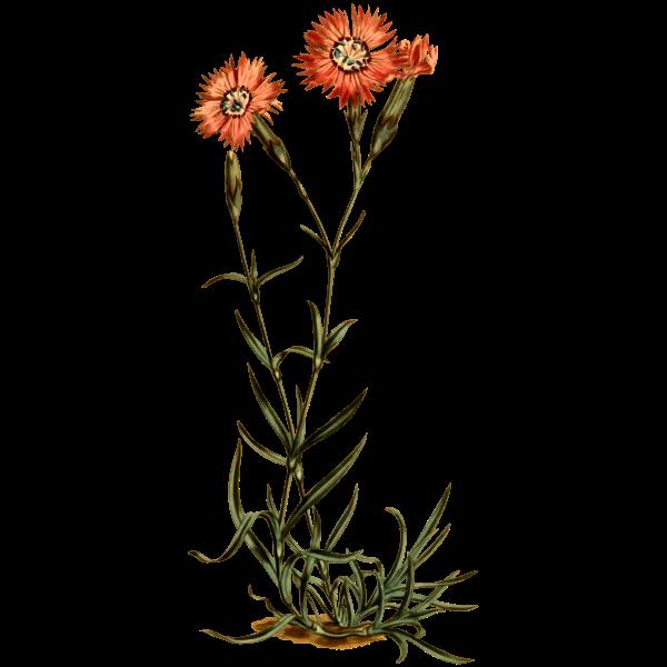 Caucasean Flower Pink