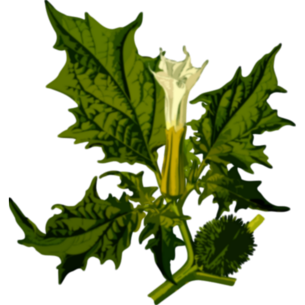 Green Devil's snare