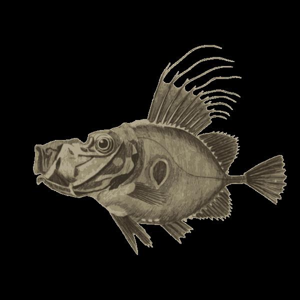 Doree fish