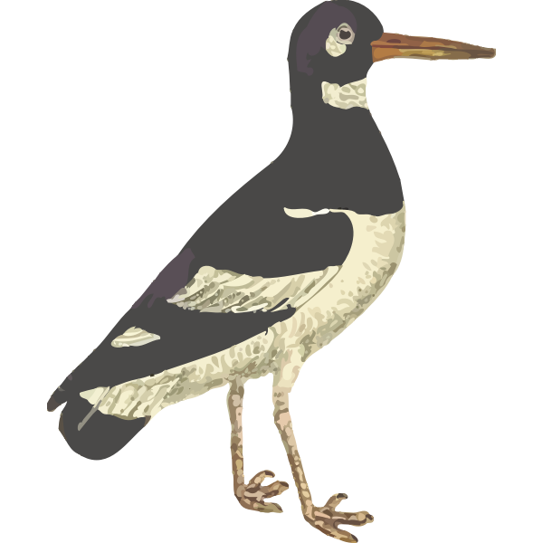 Eurasian Oystercatcher Isolated