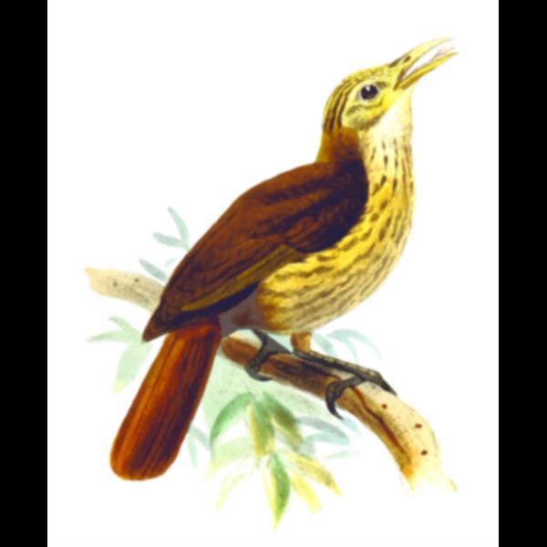 Friarbird image