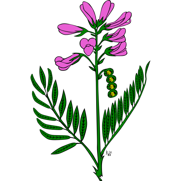 Vector image of hedysarum boreale plant