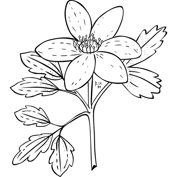 Vector illustration of anemone piper plant
