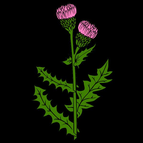 Vector image of cirsium arvense flower