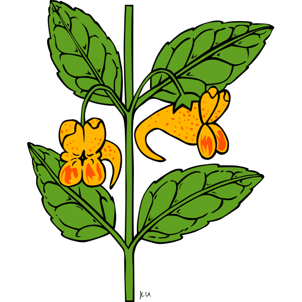Vector drawing of impatiens capensis plant