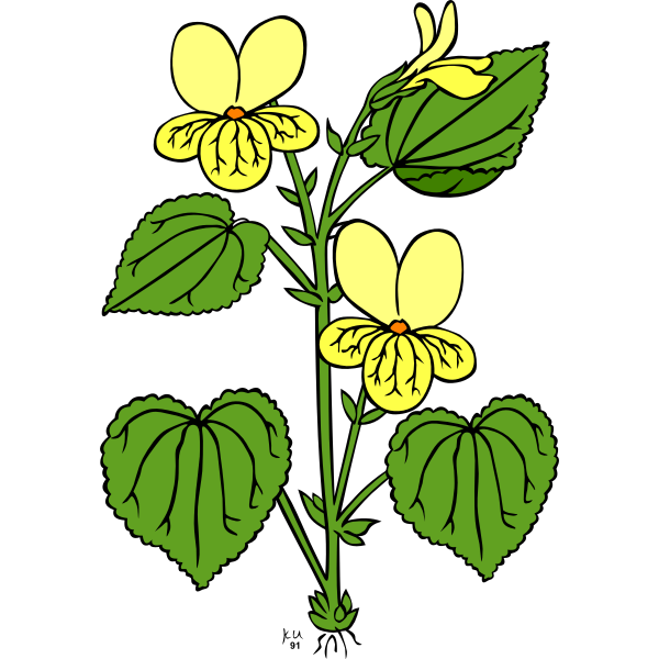 Vector illustration of viola glabella flower