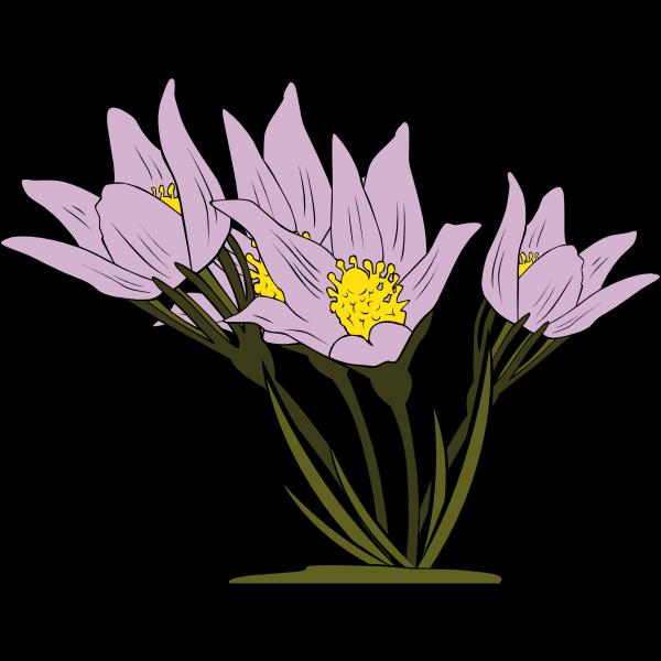 Anemone Patens plant vector