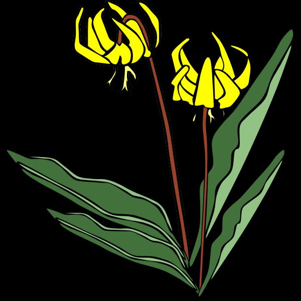 Erythronium grandiflorum vector