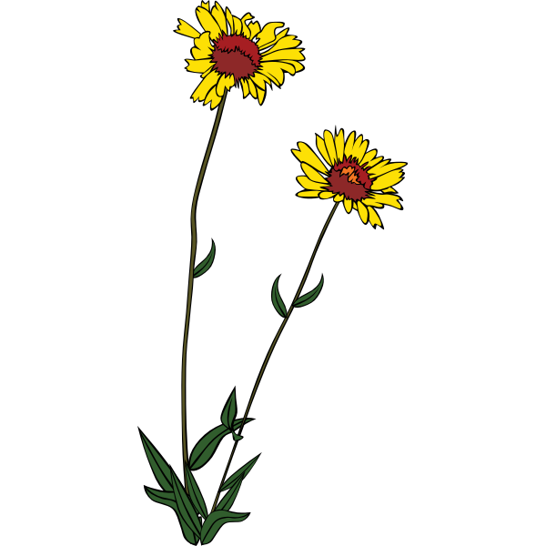 Gaillardia aristata vector