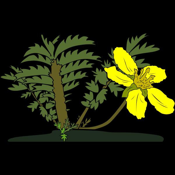 Potentilla anserina flower