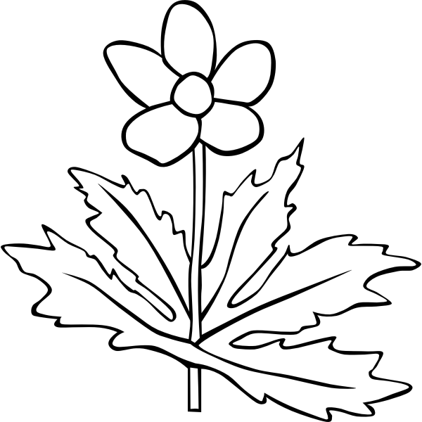Anemone Canadensis flower outline vector image