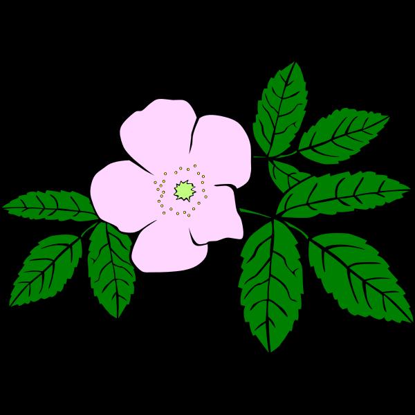 Rosa acicularis vector