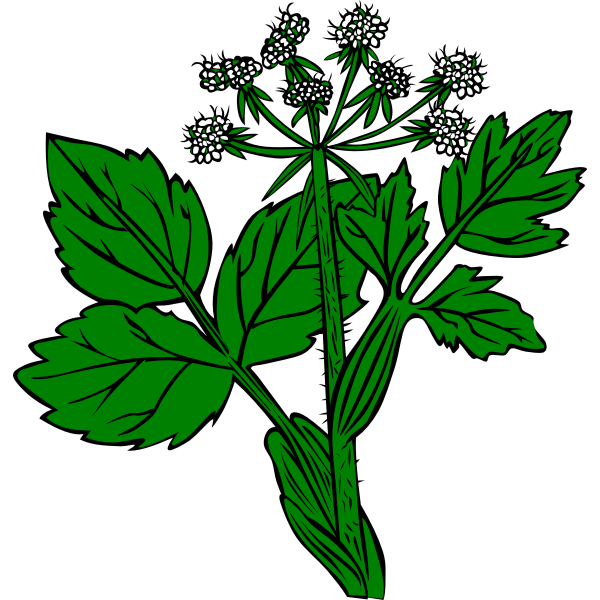 Cow Parsnip vector image