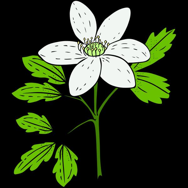 Anemone Piperi vector