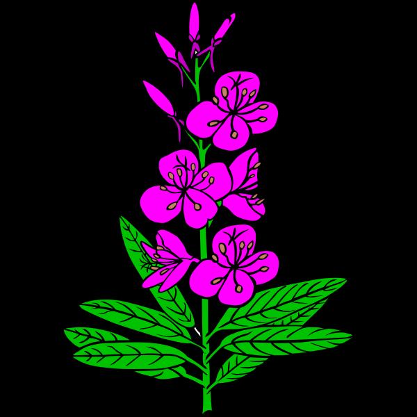 Epilobium angustifolium vector