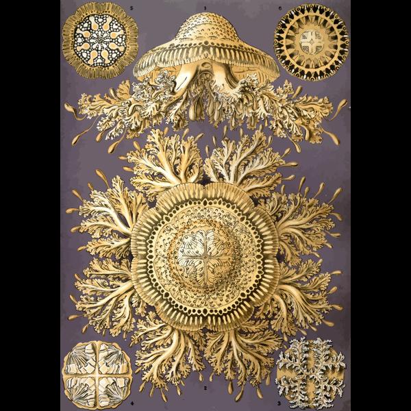 Haeckel Discomedusae 28