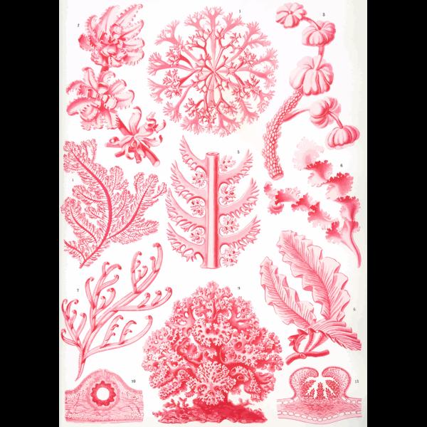 Haeckel Florideae