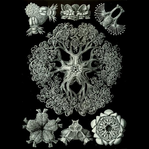 Haeckel Ophiodea 70