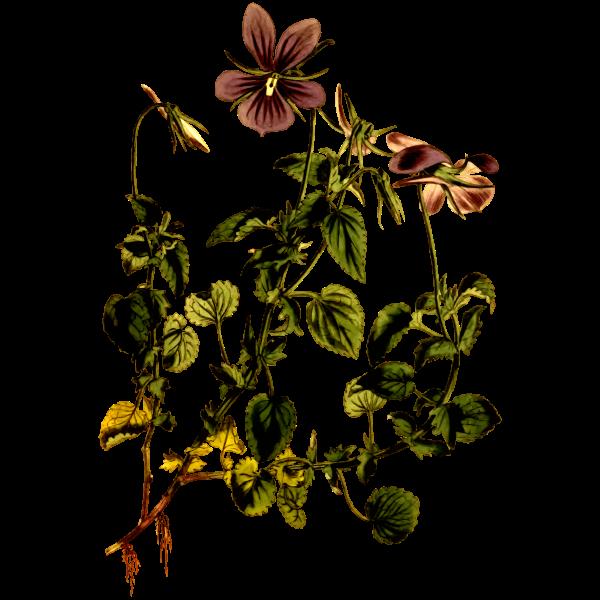 Horned Violet Flower Plant