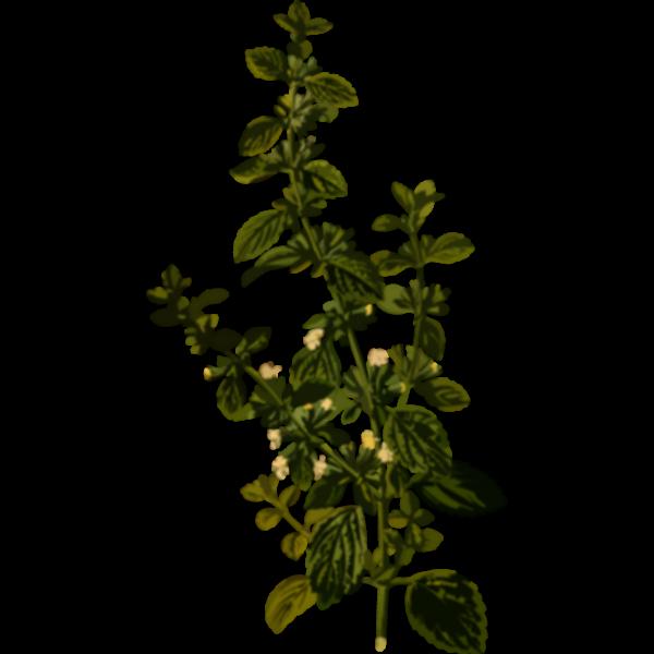 Lemon balm vector image