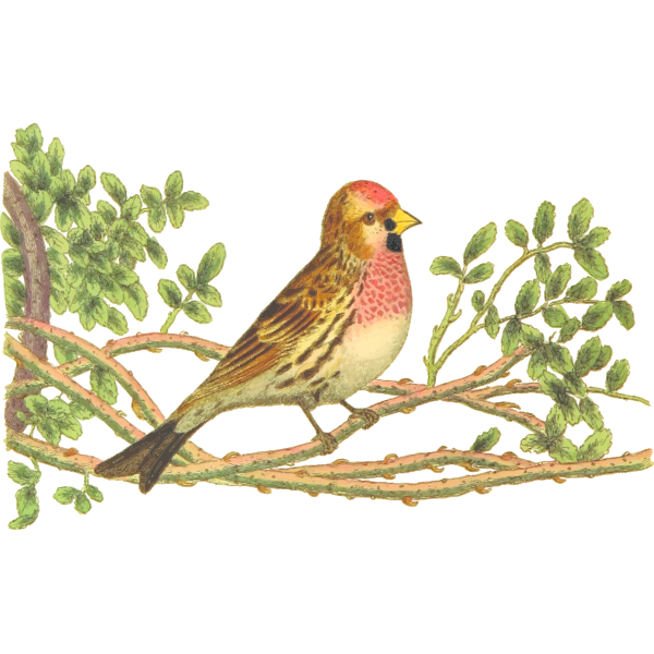 Lesser redpoll on a tree branch color drawing
