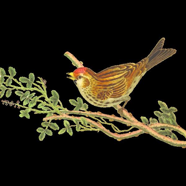 Lesser redpoll on a tree branch clip art