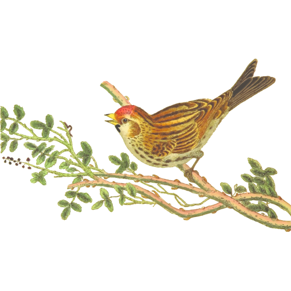 Lesser redpoll on a tree branch clip art