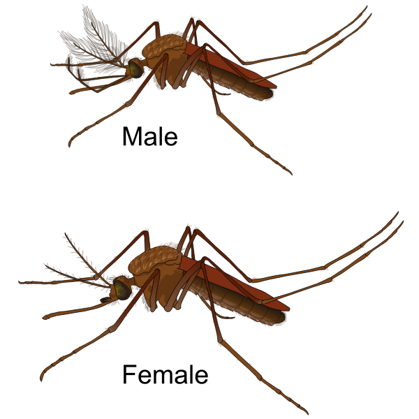 Male and Female Mosquito