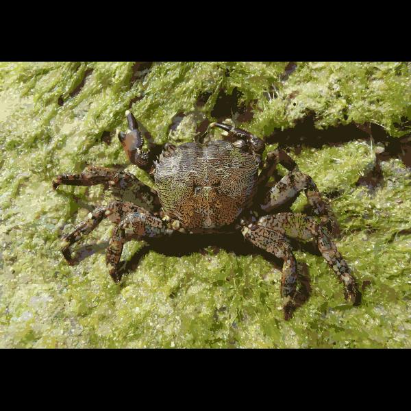 Pachygrapsus marmoratus 2009 G3 2016121833
