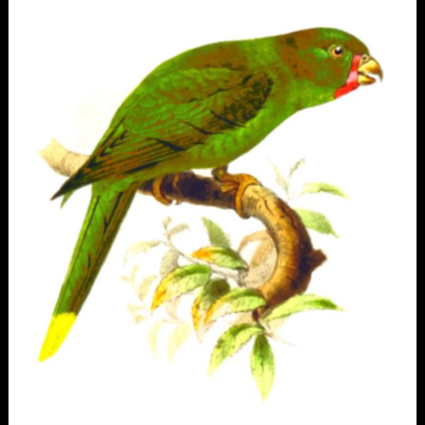 Palm lorikeet