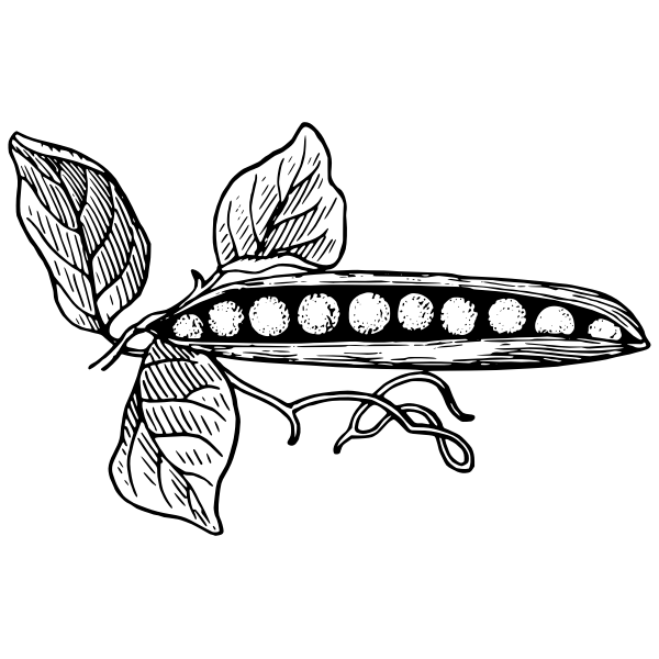 Pea pod vector drawing