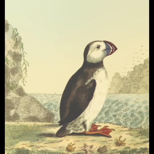 Full color alcid species bird drawing