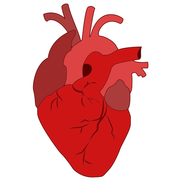 Realistic red heart