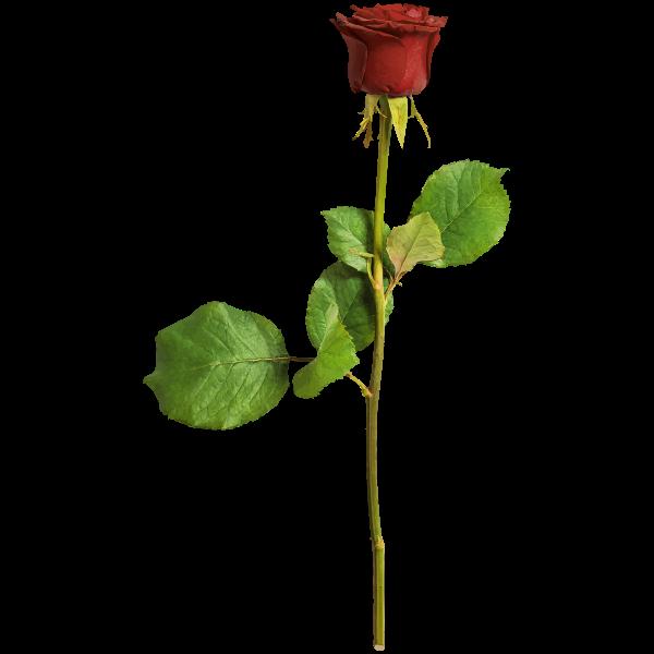 Rose25Colour2